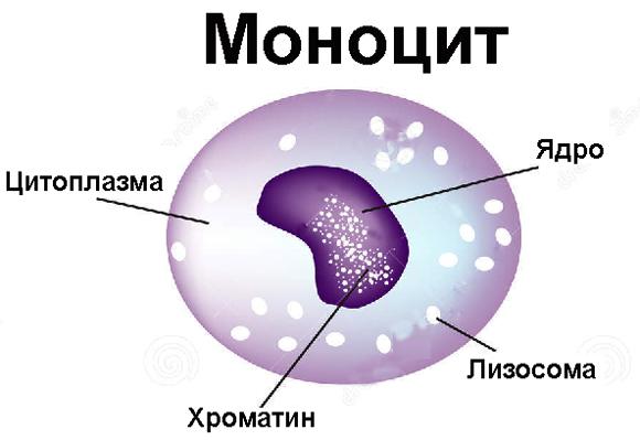 Моноцит